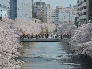 Viewing cherry blossom in Meguro River