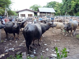 Water Buffalo Market