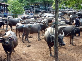 Water Buffalo Market © orange.tag.pixx