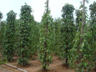 Pepper Plantations © Liftold