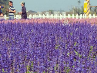 Sea of Flowers in Shinshe © Miranda Jan