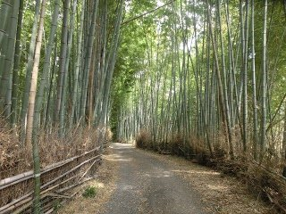 Bamboo grove of Nishigamo
